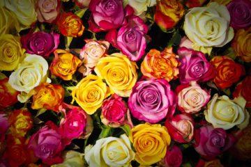 verschillende kleuren rozen