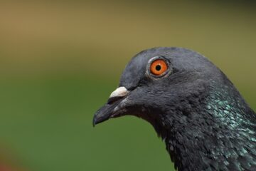 bezeten duif